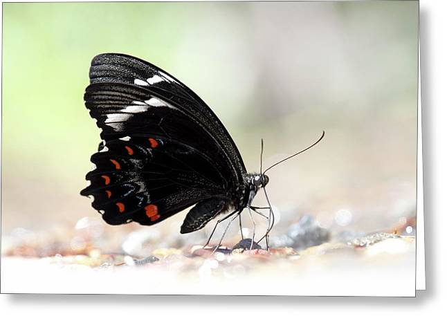 Orchard Swallowtail Butterfly Greeting Card by Gerry Pearce