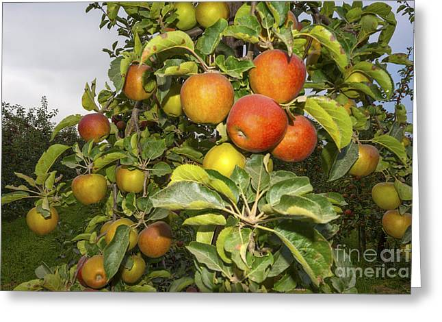 Limburg Greeting Cards - Orchard with fruit trees in a field in summer Greeting Card by Jan Marijs