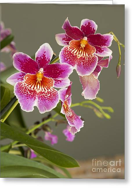 Chevalier Greeting Cards - Orchid 2 Greeting Card by Elizabeth Chevalier