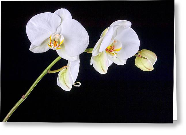 Orchid 2a Greeting Card by Mauro Celotti