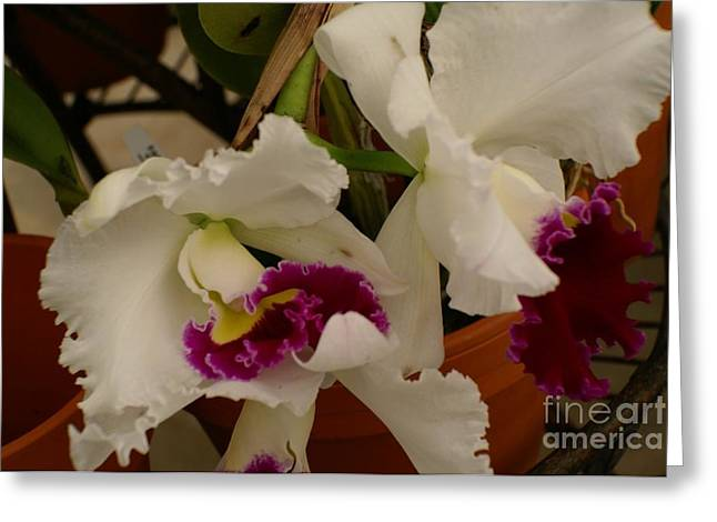 Cattleya Greeting Cards - Orchid 3 Cattleya Greeting Card by Jacqueline Russell