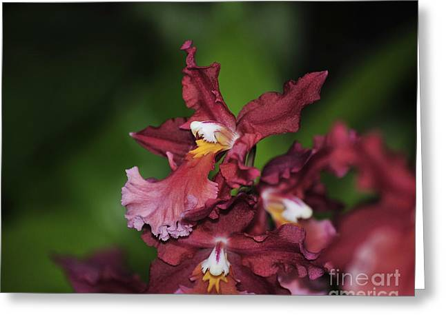 Redm Green Greeting Cards - orchid 573 Red and Pink Odontocidium Greeting Card by Terri Winkler