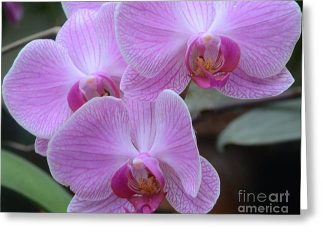 Struckle Greeting Cards - Orchid Beauties Greeting Card by Kathleen Struckle