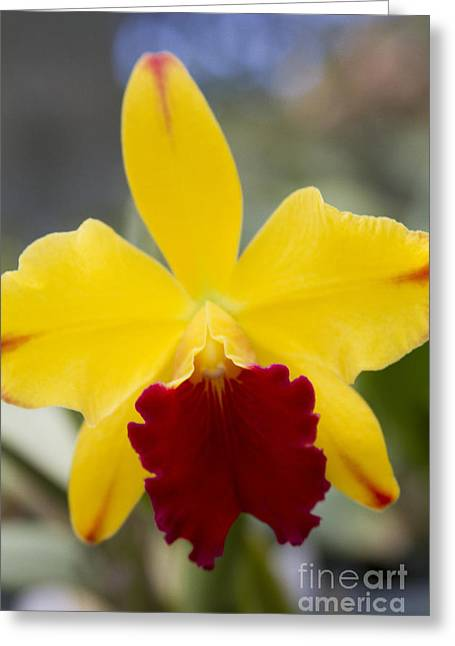 Cattleya Greeting Cards - Orchid Beauty - Cattleya - Pot Little Toshie Mini Flares Mericlone Hawaii Greeting Card by Sharon Mau