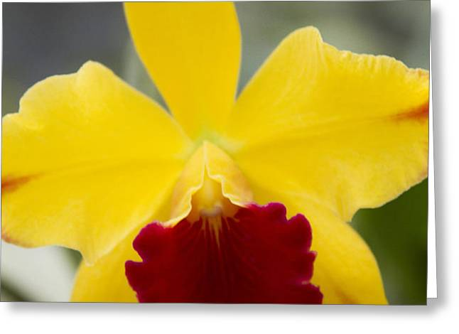 Orchid Beauty - Cattleya - Pot Little Toshie Mini Flares Mericlone Hawaii Greeting Card by Sharon Mau