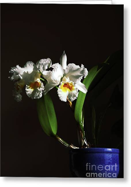 Cattleya Photographs Greeting Cards - Orchid Cattleya Bow Bells Greeting Card by Charline Xia