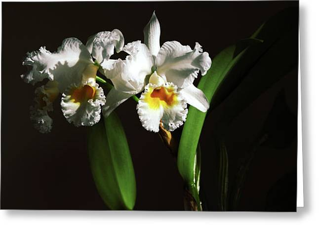 Orchid Cattleya Bow Bells Greeting Card by Charline Xia