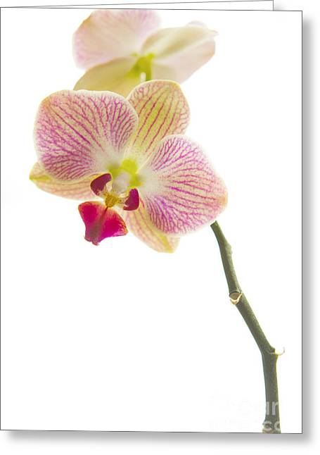 Tropical Plants Greeting Cards - Orchid Greeting Card by Diane Diederich