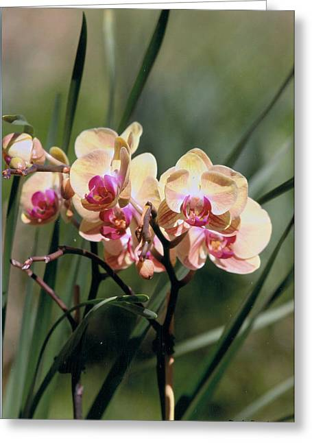 Dream Scape Greeting Cards - Orchid Dream Greeting Card by Paula Rountree Bischoff