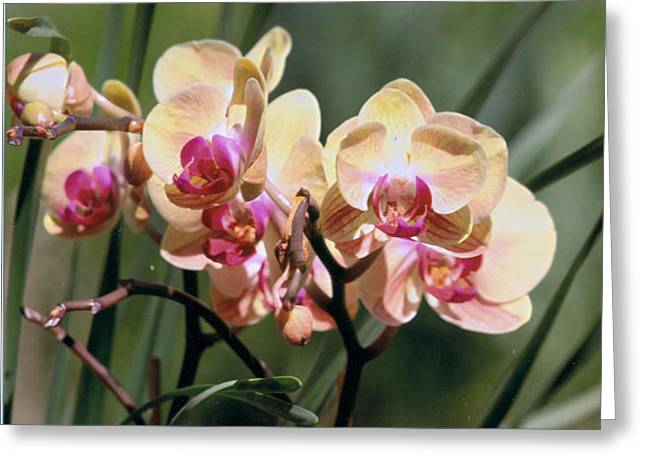 Orchid Dream Greeting Card by Paula Rountree Bischoff