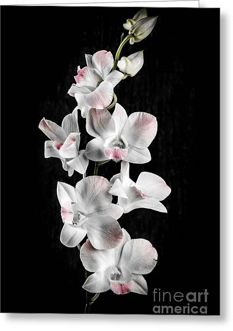Pink Flower Branch Photographs Greeting Cards - Orchid flowers on black Greeting Card by Elena Elisseeva