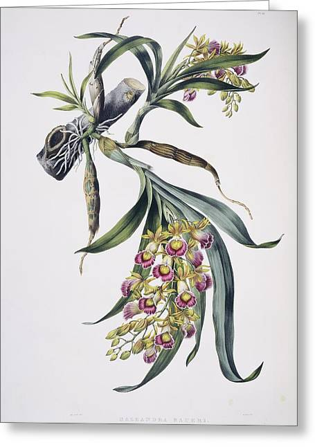Epiphyte Greeting Cards - Orchid (Galeandra baueri), artwork Greeting Card by Science Photo Library