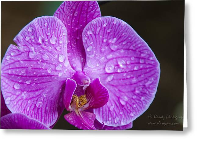 Gandz Photography Greeting Cards - Orchid Greeting Card by Gandz Photography