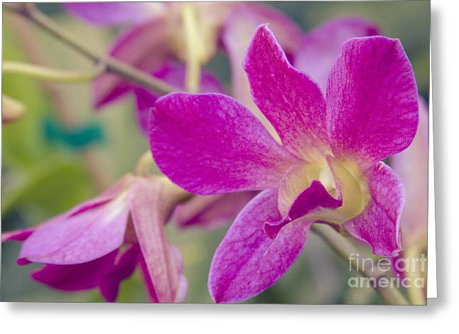Orchid - Haliimaile Spring Pink Greeting Card by Sharon Mau