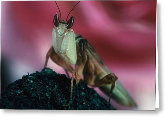 Flying Orchid Greeting Cards - Orchid Male Mantis  hymenopus coronatus  Portrait  2 of 9 Greeting Card by Leslie Crotty