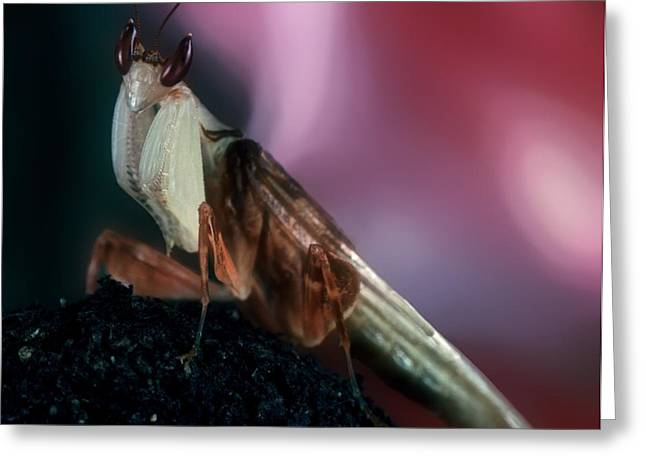 Flying Orchid Greeting Cards - Orchid Male Mantis  hymenopus coronatus Portrait  #6 of 9 Greeting Card by Leslie Crotty