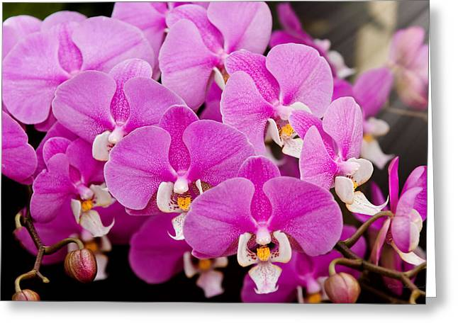 Orchid -  Phalaenopsis - Tickled Pink Greeting Card by Mike Savad