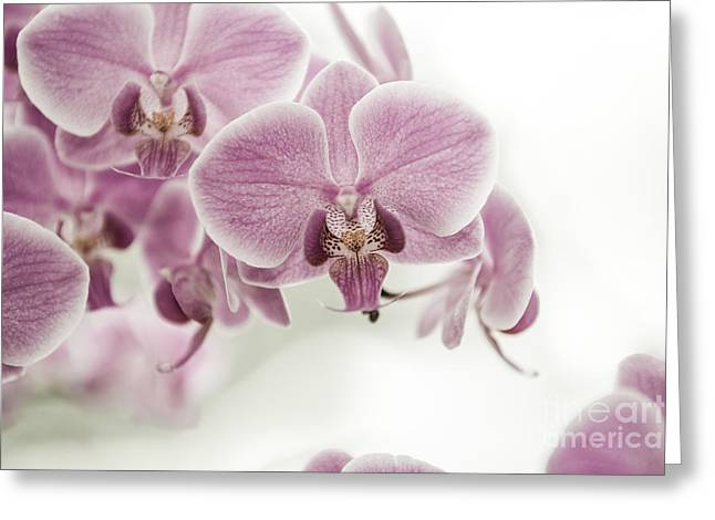 Hannes Cmarits Greeting Cards - Orchid Pink Vintage Greeting Card by Hannes Cmarits