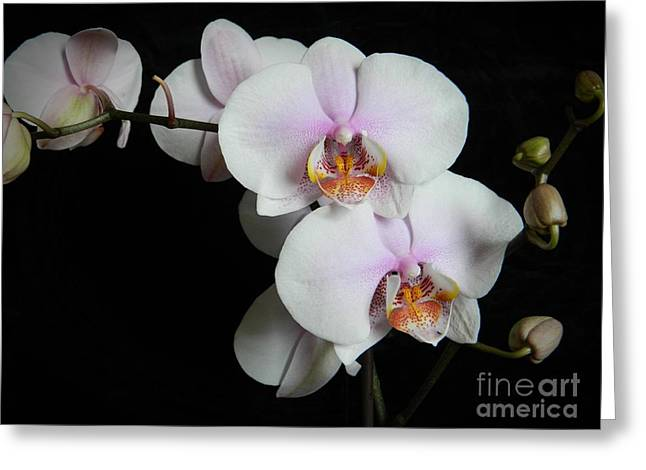 Neurotic Images Photography Greeting Cards - Orchid Portrait Greeting Card by Chalet Roome-Rigdon
