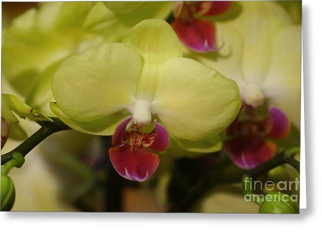 Rudi Prott Greeting Cards - Orchids 181 Greeting Card by Rudi Prott