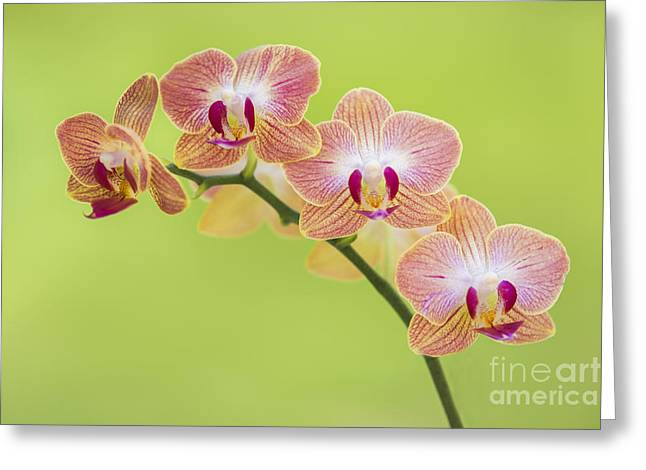 Colorful Orchid Greeting Cards - Orchids Greeting Card by Diane Diederich