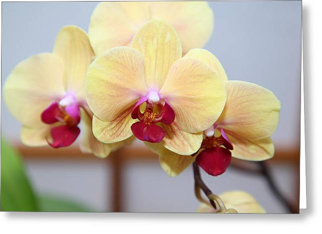 Us Greeting Cards - Orchids - US Botanic Garden - 01131 Greeting Card by DC Photographer
