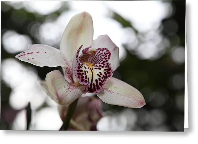 Orchid Greeting Cards - Orchids - US Botanic Garden - 011311 Greeting Card by DC Photographer