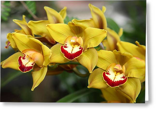 United Greeting Cards - Orchids - US Botanic Garden - 011329 Greeting Card by DC Photographer