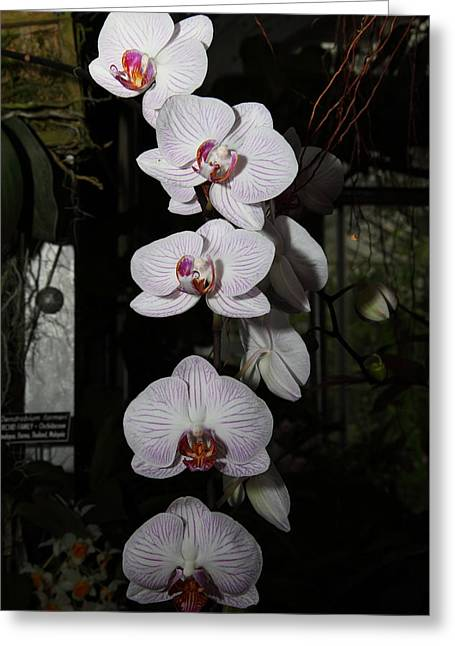 Flowers Photographs Greeting Cards - Orchids - US Botanic Garden - 011335 Greeting Card by DC Photographer