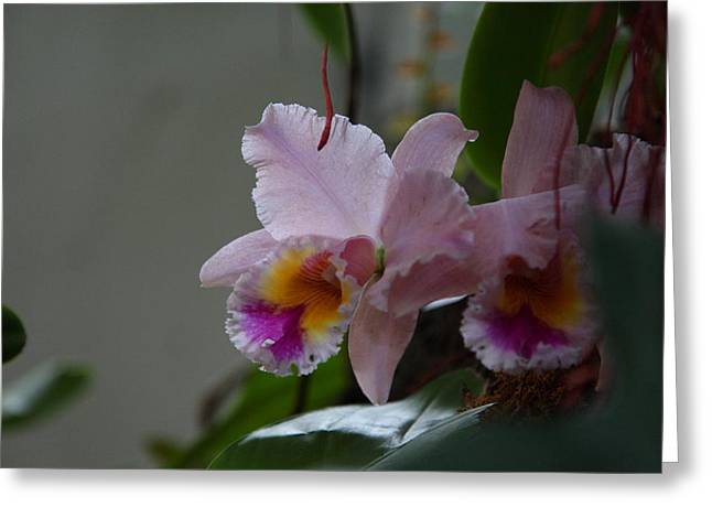 Dc Greeting Cards - Orchids - US Botanic Garden - 011355 Greeting Card by DC Photographer