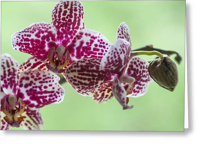 Orchis Greeting Cards - Orchis Red-white Greeting Card by Ralf Kaiser