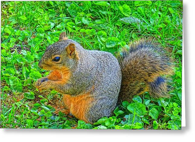 Fox Squirrel Greeting Cards - Oregon Eastern Fox Squirrel Greeting Card by Nick Kloepping