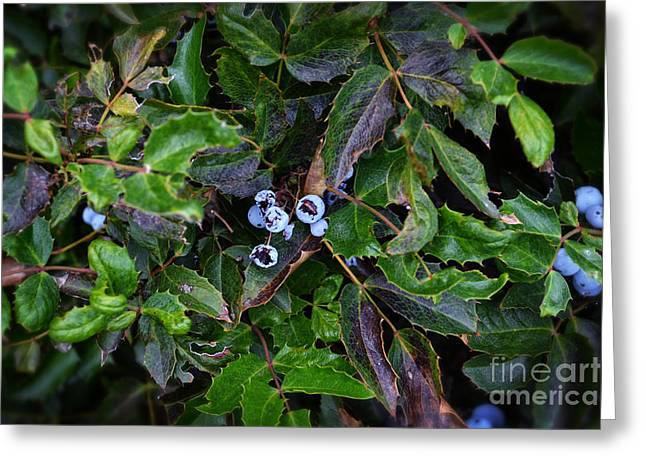 Blue Grapes Photographs Greeting Cards - Oregon Grape Greeting Card by Beverly Guilliams
