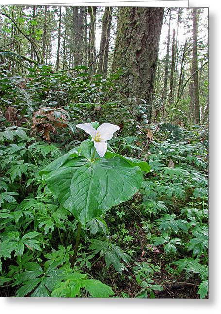State Parks In Oregon Greeting Cards - Oregon Trillium Greeting Card by Elizabeth Rose