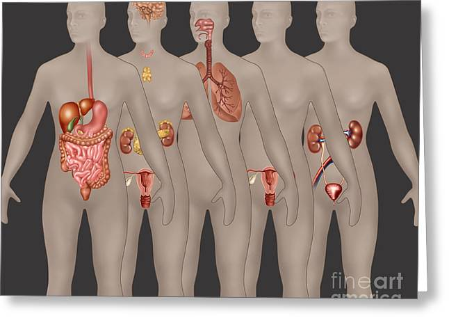 Organ Systems In Female Anatomy Greeting Card by Gwen Shockey