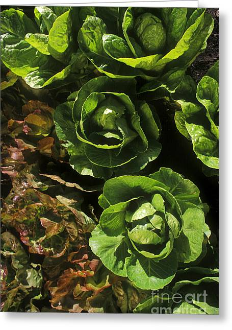 Agronomy Greeting Cards - Organic Lettuce Greeting Card by Craig Lovell