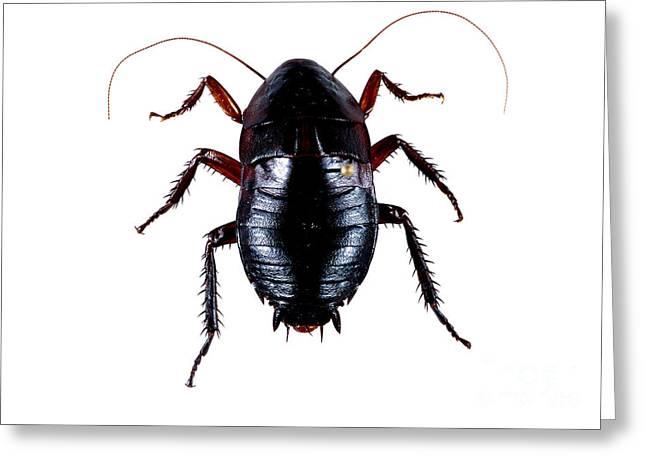 Cockroach Greeting Cards - Oriental Cockroach Greeting Card by Barbara Strnadova