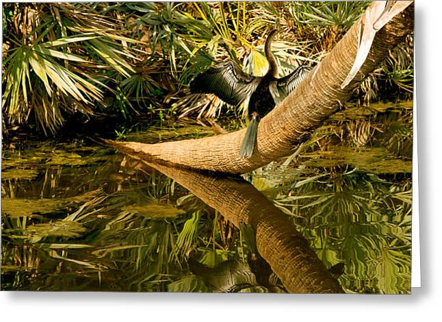 Anhinga Greeting Cards - Oriental Darter Anhinga Melanogaster Greeting Card by Panoramic Images