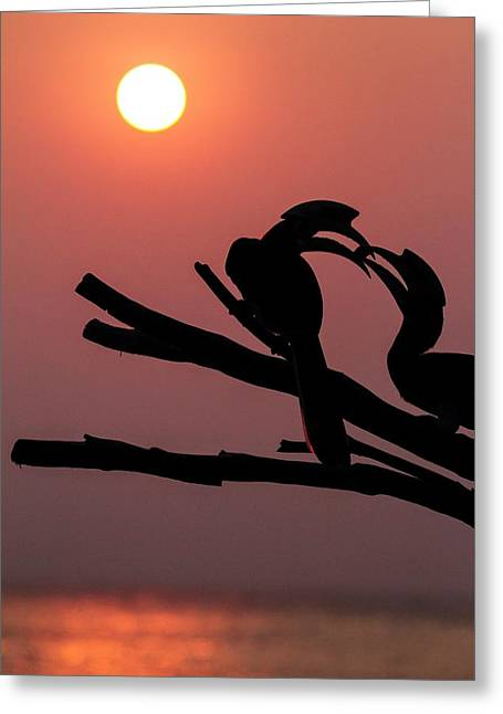 Oriental Pied Hornbills Greeting Card by Paul Williams