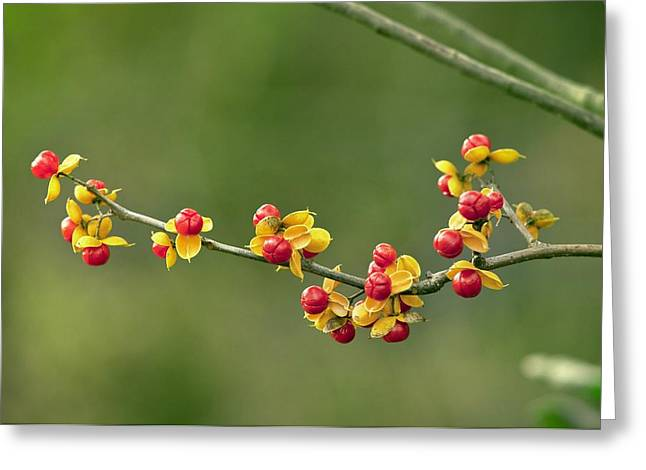 Oriental Bittersweet Greeting Cards - Oriental staff vine fruit Greeting Card by Science Photo Library