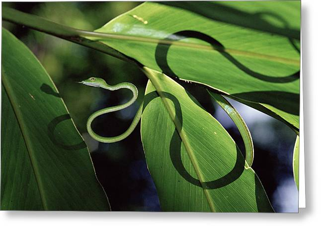 Whip-snake Greeting Cards - Oriental Whip Snake Ahaetulla Prasina Greeting Card by Michael and Patricia Fogden