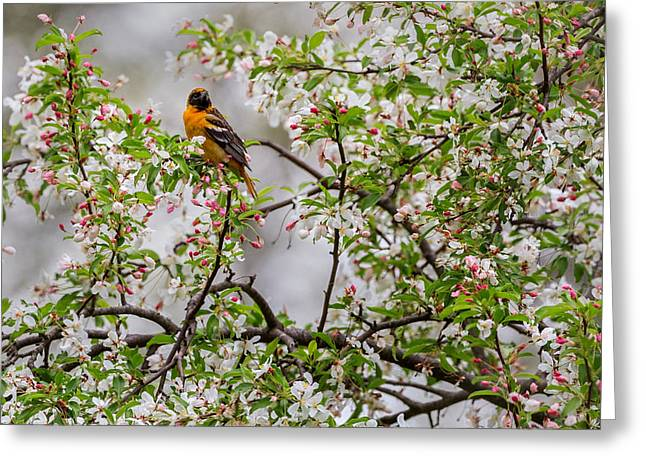 Birds With Flowers Greeting Cards - Oriole In Crabapple Tree Greeting Card by Bill  Wakeley