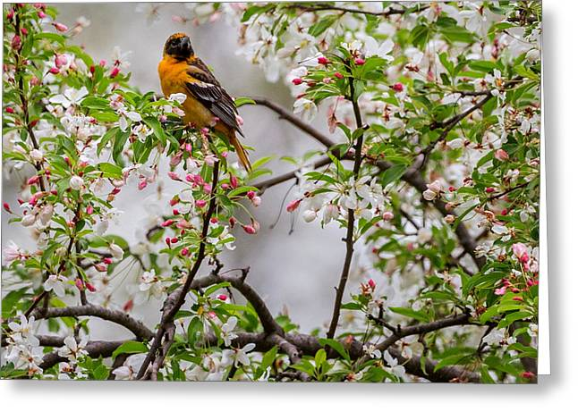 Birds With Flowers Greeting Cards - Oriole In Crabapple Tree Square Greeting Card by Bill  Wakeley