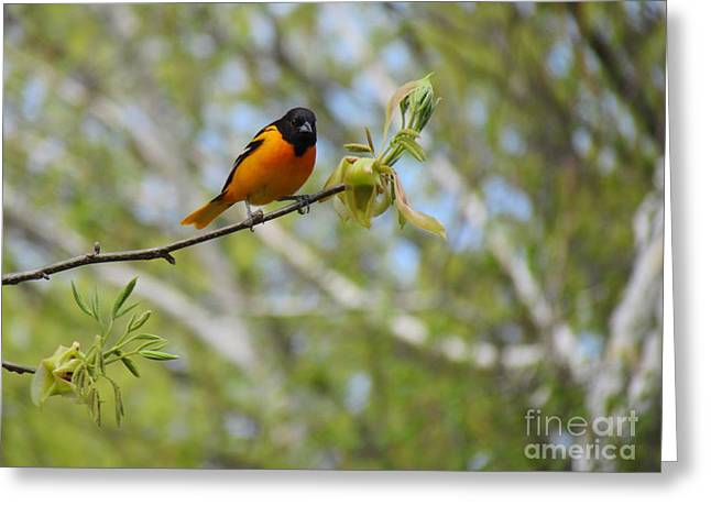 Randi Shenkman Greeting Cards - Oriole Greeting Card by Randi Shenkman