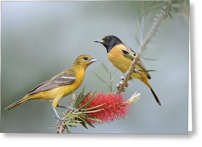 Wild Orchards Greeting Cards - Orioles Greeting Card by Bonnie Barry