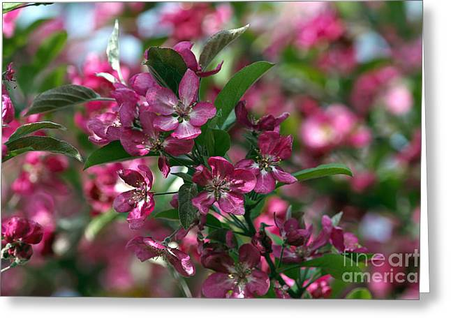 Pink Flower Branch Greeting Cards - Ornamental Crabapple Blossoms Greeting Card by Sharon  Talson