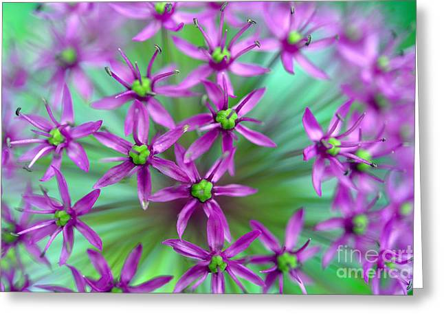 Purple Sensation Greeting Cards - Ornamental Onion - Purple Sensation Greeting Card by Terry Elniski