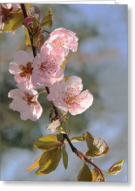 Ornamental Plum Tree Pink Flower Blossoms Greeting Card by Jennie Marie Schell