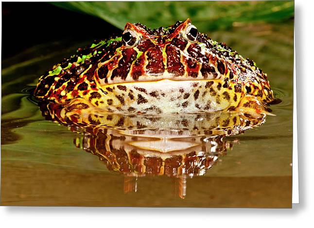 Ornate Horn Frog, Ceratophrys Ornata Greeting Card by David Northcott