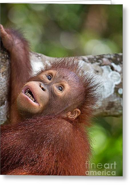 Orphan Baby Orangutan Greeting Card by Louise Heusinkveld